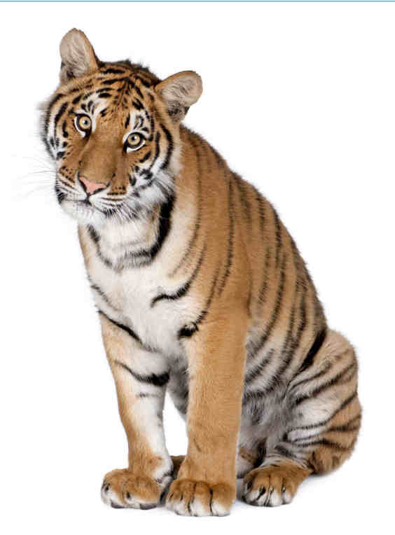 Picture of a tame tiger looking at the camera, illustrating the Versatile Tame Microsoft Project training course